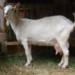 Продам дойную и пуховую козу, Новосибирск