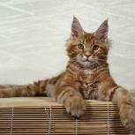 Мейн-кун, крупный красный котик, Новосибирск