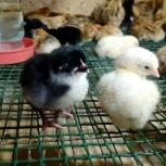 Продам цыплят Доминант, Новосибирск