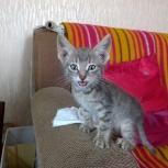 Отдам котёнка в добрые руки, Новосибирск