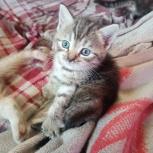 Котята с серо-голубыми глазами, Новосибирск