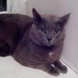 Отдам британского кота, Новосибирск