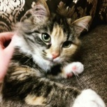Отдам в добрые руки чудесную кошечку:), Новосибирск
