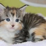 Мейн-куны котята, Новосибирск