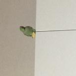 Продам ожерелового попугая, Новосибирск