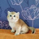 Шотландские золотые котята, Новосибирск