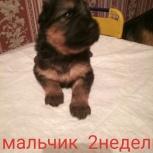 Продам щенков немецкой рвчарки, Новосибирск