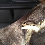 Продам чучело головы секача дикого кабана, Новосибирск