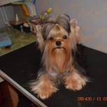 Собака, кобель для вязки, Новосибирск