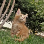 Котята мейн-куны с документами, Новосибирск