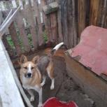 отдам даром собаку, Новосибирск