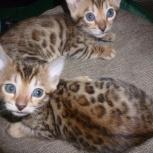 бенгальские котята, Новосибирск
