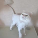 Пропала белая, стриженная кошка на Петухова 104,а, Новосибирск