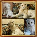 Вязка! Жених-мраморный с оттенком крем-брюле котик Scottish Fold, Новосибирск