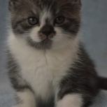 Продам шотландского  котенка, Новосибирск