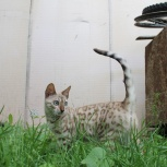 Продам бенгальскую кошку малышку, Новосибирск