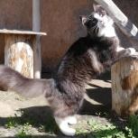 Роскошный норвежский лесной котенок, Новосибирск
