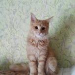 Котята мейкун, Новосибирск