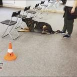 Дрессировка собак - NoseWork (поиск целевых запахов), Новосибирск