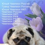 Мопсы от Чемпионов, Новосибирск