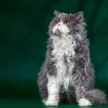 Красивый, кудрявый, кастрированный кот., Новосибирск
