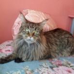 Элегантная кошка мейн-кун, Новосибирск