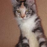 Кошка королева красоты!, Новосибирск