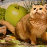 Котик-британской золотой шиншиллы., Новосибирск