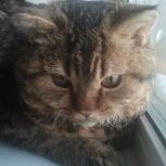 Отдам кота селкирк-рекс, Новосибирск