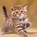 Плюшевые котята британцы, Новосибирск