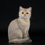 Продам котиков британских шиншилл, Новосибирск