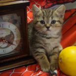 Котята Бриташки, Новосибирск
