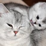 Шотландские котята скоттиш страйт, Новосибирск