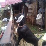 Продаются козы, Новосибирск