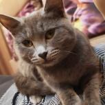Найдена молодая кошечка британской породы, Новосибирск