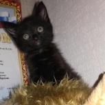 Отдам котенка от британки и маскарадного кота., Новосибирск