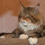 котята мейн- кунов, Новосибирск