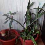 Продам растение в горшке, Новосибирск