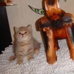 Клубная породистая британская кошечка редкого окраса лилово-кремовая, Новосибирск