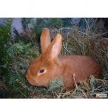 Кролики новозеландская красная на племя, Новосибирск