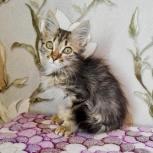 Котенок в самые добрые ручки, Новосибирск