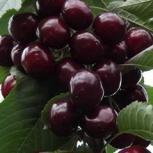 Продам несколько саженцев черешневишни сорта дюк, Новосибирск