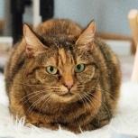 Кошка Жасмин, стерилизованная, Новосибирск