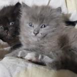 Продам милых котят британки-)), Новосибирск