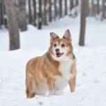 Спокойная собачка для квартиры, Новосибирск