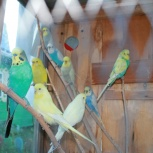 Чехи,самые красивые волнистые попугаи, Новосибирск