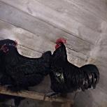 Яйцо инкубационное  Джерсийский Гигант, Новосибирск