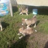 продам щенков западно-сибирской лайки, Новосибирск