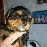 Продам щенков йоркширского терьера, Новосибирск