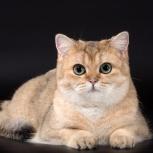 Золотая кошка, Новосибирск